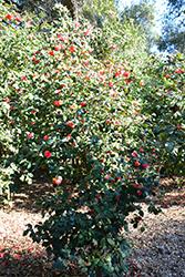 Covina Camellia (Camellia japonica 'Covina') at Roger's Gardens