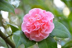 Debutante Camellia (Camellia 'Debutante') at Roger's Gardens