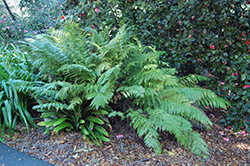 Giant Chain Fern (Woodwardia fimbriata) at Roger's Gardens