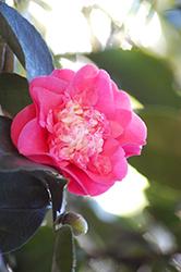 Elegans Supreme Camellia (Camellia japonica 'Elegans Supreme') at Roger's Gardens