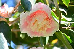 Elegans Splendor Camellia (Camellia japonica 'Elegans Splendor') at Roger's Gardens