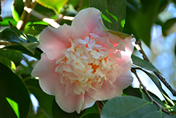 C.M. Wilson Camellia (Camellia japonica 'C.M. Wilson') at Roger's Gardens