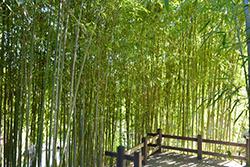 Golden Bamboo (Phyllostachys aurea) at Roger's Gardens