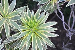 Star of Madeira (Echium candicans 'Star of Madeira') at Roger's Gardens