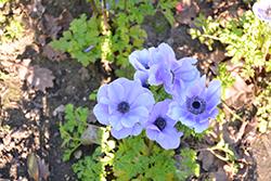 Mona Lisa Bicolor Blue Shades Windflower (Anemone coronaria 'PAS1851') at Roger's Gardens