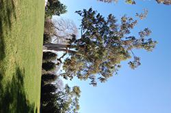 Lemon-scented Gum (Eucalyptus citriodora) at Roger's Gardens