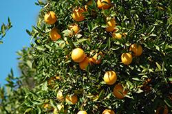 Washington Navel Orange (Citrus sinensis 'Washington Navel') at Roger's Gardens