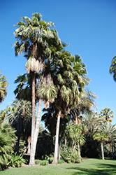 Guadalupe Palm (Brahea edulis) at Roger's Gardens