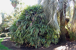 Lady Palm (Rhapis excelsa) at Roger's Gardens