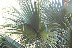 Dwarf Palmetto (Sabal minor) at Roger's Gardens