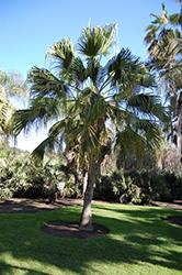 Chinese Fan Palm (Livistona chinensis) at Roger's Gardens