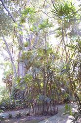 Slender Lady Palm (Rhapis humilis) at Roger's Gardens