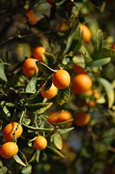 Nagami Kumquat (Fortunella margarita 'Nagami') at Roger's Gardens