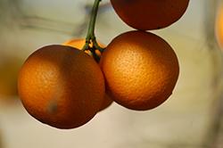 Rangpur (Citrus x limonia) at Roger's Gardens