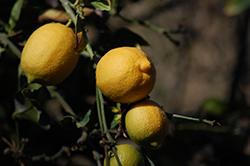 Eureka Lemon (Citrus limon 'Eureka') at Roger's Gardens