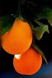 Robertson Navel Orange (Citrus sinensis 'Robertson') at Roger's Gardens