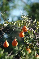 Pixie Mandarin (Citrus reticulata 'Pixie') at Roger's Gardens