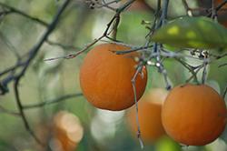 Tarocco Blood Orange (Citrus sinensis 'Tarocco') at Roger's Gardens