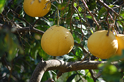 Reinking Pummelo (Citrus maxima 'Reinking') at Roger's Gardens