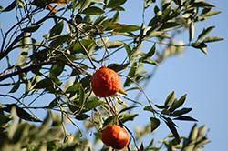 Dancy Tangerine (Citrus reticulata 'Dancy') at Roger's Gardens