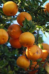 Chinotto Myrtle-leaved Orange (Citrus aurantium var. myrtifolia 'Chinotto') at Roger's Gardens