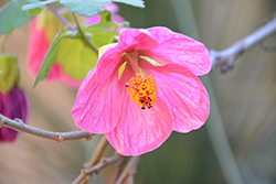 Pink Flowering Maple (Abutilon 'Pink') at Roger's Gardens