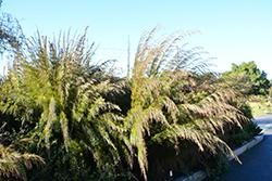 Cape Restio (Rhodocoma capensis) at Roger's Gardens