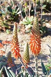 Arabian Aloe (Aloe rubroviolacea) at Roger's Gardens