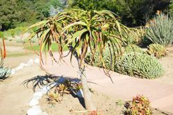 Samson Aloe (Aloe 'Samson') at Roger's Gardens