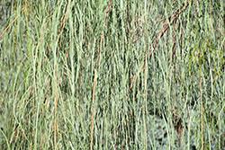 Shoestring Acacia (Acacia stenophylla) at Roger's Gardens