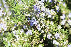 Blue Spires Rosemary (Rosmarinus officinalis 'Blue Spires') at Roger's Gardens