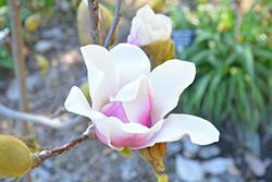 Athene Magnolia (Magnolia 'Athene') at Roger's Gardens