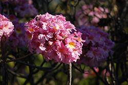 Pink Trumpet Tree (Tabebuia impetiginosa) at Roger's Gardens