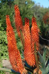 Cat's Tail Aloe (Aloe castanea) at Roger's Gardens