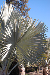 Bismarck Palm (Bismarckia nobilis) at Roger's Gardens