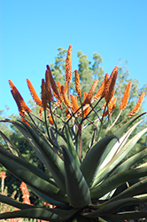 Cape Aloe (Aloe ferox) at Roger's Gardens
