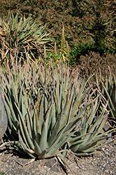 Yellow Flowered Aloe Vera (Aloe vera 'Yellow') at Roger's Gardens