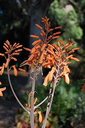 Soap Aloe (Aloe maculata) at Roger's Gardens