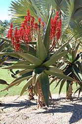 Malagasy Tree Aloe (Aloe vaombe) at Roger's Gardens