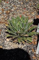 Dwarf Variegated Queen Victoria Agave (Agave victoriae-reginae 'Dwarf Variegata') at Roger's Gardens