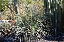 Bear Grass (Nolina stricta) at Roger's Gardens