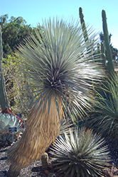 Beaked Yucca (Yucca rostrata) at Roger's Gardens