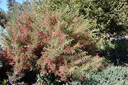 Penola Lavender Grevillea (Grevillea lavandulacea 'Penola') at Roger's Gardens
