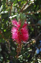 Rose Bottlebrush (Callistemon 'Rosea') at Roger's Gardens