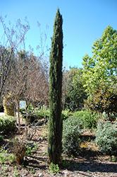 Tiny Tower Italian Cypress (Cupressus sempervirens 'Monshel') at Roger's Gardens