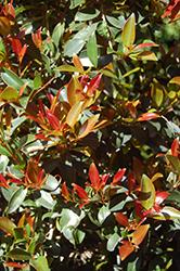 Monterey Bay Brush Cherry (Eugenia myrtifolia 'Monterey Bay') at Roger's Gardens