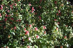 Variegated Shrimp Plant (Justicia brandegeana 'Variegata') at Roger's Gardens