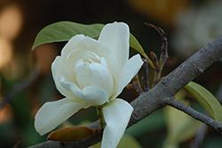 Silver Cloud Magnolia (Magnolia doltsopa 'Silver Cloud') at Roger's Gardens