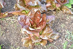 Red Romaine Lettuce (Lactuca sativa var. longifolia 'Red Romaine') at Roger's Gardens