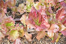 Flame Lettuce (Lactuca sativa var. crispa 'Flame') at Roger's Gardens